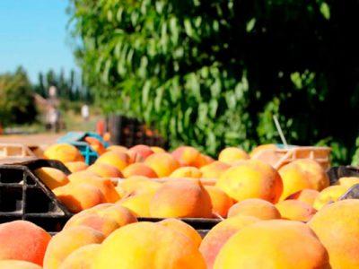 Aumentan plantaciones de carozos en Chile