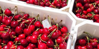 Aysén se perfila como principal productor de cerezas