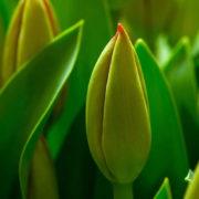 Inauguran empresa internacional de Bulbos de Flor